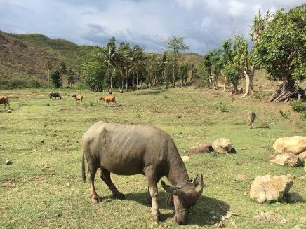 L'illa és plena de bous com aquest