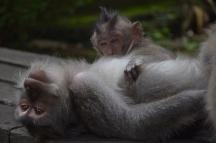 Més micos al Monkey Forest
