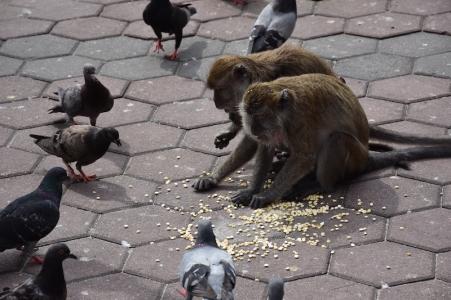 Micos agafant menjar dels coloms
