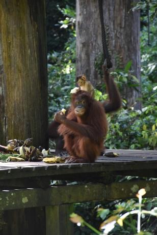 Orangutan salvatge a la plataforma