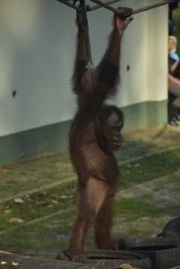 Orangutan a la guarderia