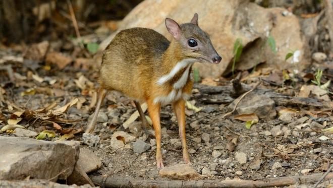 MouseDeer