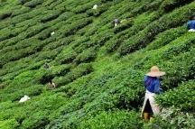 Treballadors recollint el te