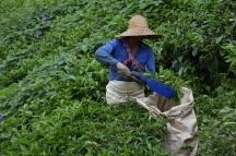 Detall de les eines que fan servir per tallar les fulles de te i recollir-les alhora