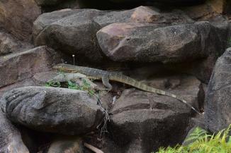 Els famosos lizards