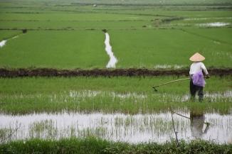 Una treballadora dels camps d'arròs de Hoi An
