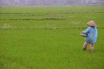 Els camps d'arròs de Hoi An