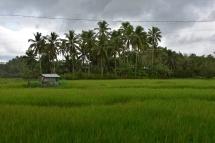 A Filipines també hi ha molt arròs