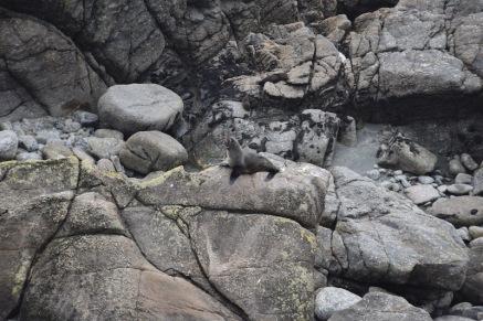Una foca a Cape Foulwind