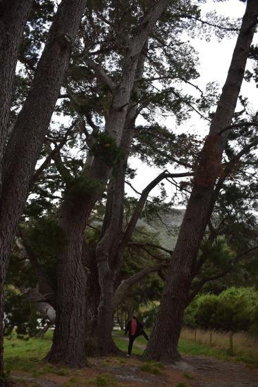 Un arbre gegant prop del llac Wanaka