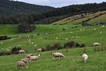 Ovelles pasturant en el primer tram de la Te Anau - Milford Sound