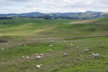 Turons, gespa verda i ovelles a dojo