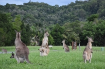 Una família de cangurs just al costat de la carretera