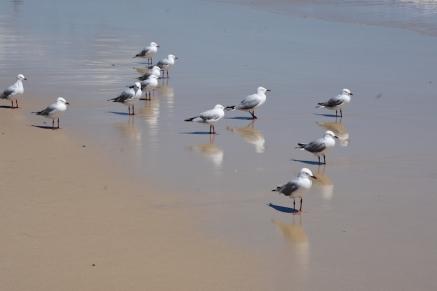 Un grup de gavines a la platja de Coolangatta
