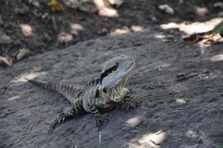 Un dels molts dracs que pots veure per Gold Coast