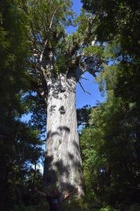 L'arbre Kauri més important: Tane Mahuta