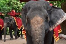 Elefants preparats per rebre turistes