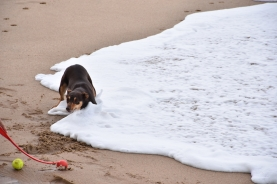Un gos juga a la platja
