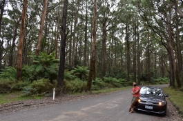 Entre eucaliptus al Otway National Park