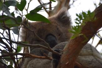 Un coala dorm dalt de l'arbre