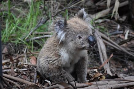 El valent coala que volia travessar la carretera