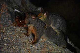 Un Possum amb la seva cria